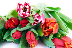 Tulips bouquet isolated Royalty Free Stock Photos