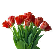 Tulips bouquet isolated on white Royalty Free Stock Images