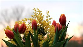 Tulips bouquet with yellow mimosa. Tulips bouquet and yellow mimosa stock video footage