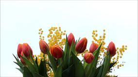 Tulips bouquet. With yellow mimosa stock video footage