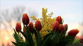 Tulips bouquet with yellow mimosa rotate stock video footage