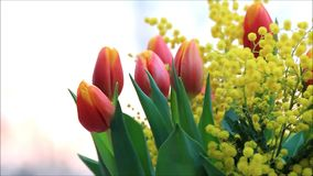 Tulips bouquet with yellow mimosa rotate stock video