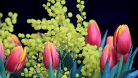Tulips bouquet with yellow mimosa. Wonderful Tulips bouquet with yellow mimosa stock video