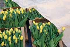 Tulips in boxes of flowers Royalty Free Stock Photos