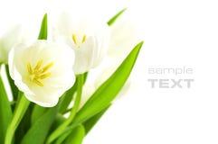 Tulips brancos fotos de stock