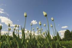 Tulips brancos Imagem de Stock Royalty Free