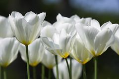 Tulips brancos imagens de stock