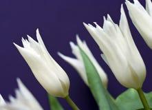 Tulips brancos Fotografia de Stock