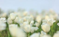 Tulips brancos Foto de Stock Royalty Free
