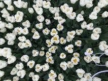 Tulips brancos Foto de Stock