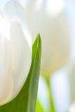 Tulips brancos com folhas verdes foto de stock royalty free