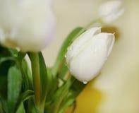 Tulips brancos com gotas da água foto de stock royalty free