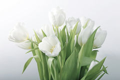 Tulips brancos da mola imagem de stock