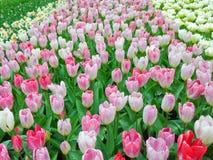Tulips brancos e cor-de-rosa Imagem de Stock Royalty Free