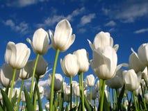 Tulips brancos em um campo Fotografia de Stock