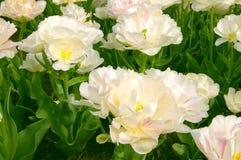 Tulips brancos extravagantes Fotografia de Stock Royalty Free