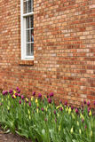 Tulips and Brick. Rows of beautiful tulips against an old brick building stock image