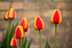 Tulips and brick wall. Royalty Free Stock Image