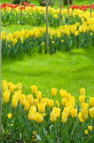 Tulips - a bright flower bed. Stock Photos