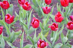 Tulips. Bright flowers in the flowerbed decorating alley to the red square Royalty Free Stock Photo