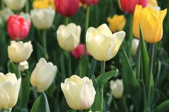 Multicolor red, white and yellow spring tulips stock image