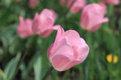 Beautiful delicate spring pink tulips on a delicate background stock images