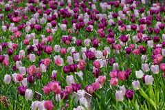 Tulips in brookside garden Stock Photos