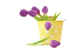 Tulips in a Bucket Royalty Free Stock Photography