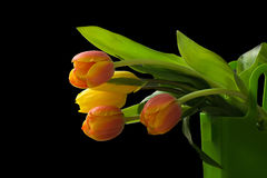 Tulips. A bucket tulips with black background royalty free stock photos