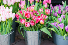 Tulips in the buckets Stock Photos