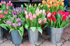 Tulips in the buckets Royalty Free Stock Photography