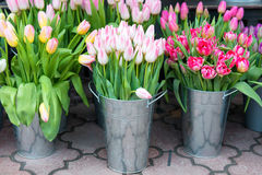 Tulips in the buckets Royalty Free Stock Photo