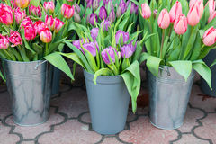 Tulips in the buckets Stock Images