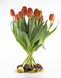 Tulips with bulb Stock Image