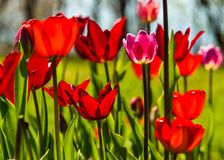 Tulips. a bulbous spring-flowering plant of the lily family,  with boldly colored cup-shaped flowers. Tulips. a bulbous spring-flowering plant of the lily Royalty Free Stock Photos