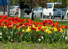 Tulips. a bulbous spring-flowering plant of the lily family,  with boldly colored cup-shaped flowers. Tulips. a bulbous spring-flowering plant of the lily Stock Photography