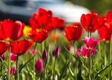 Tulips. a bulbous spring-flowering plant of the lily family,  with boldly colored cup-shaped flowers. Tulips. a bulbous spring-flowering plant of the lily Stock Images