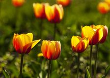 Tulips. a bulbous spring-flowering plant of the lily family,  with boldly colored cup-shaped flowers. Tulips. a bulbous spring-flowering plant of the lily Royalty Free Stock Image