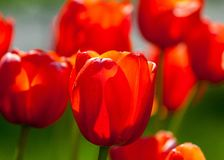 Tulips. a bulbous spring-flowering plant of the lily family,  with boldly colored cup-shaped flowers. Tulips. a bulbous spring-flowering plant of the lily Stock Photos