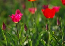Tulips. a bulbous spring-flowering plant of the lily family,  with boldly colored cup-shaped flowers. Tulips. a bulbous spring-flowering plant of the lily Royalty Free Stock Photo
