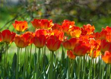 Tulips. a bulbous spring-flowering plant of the lily family,  with boldly colored cup-shaped flowers. Tulips. a bulbous spring-flowering plant of the lily Royalty Free Stock Images