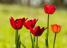 Tulips. a bulbous spring-flowering plant of the lily family,  with boldly colored cup-shaped flowers. Tulips. a bulbous spring-flowering plant of the lily Royalty Free Stock Photography