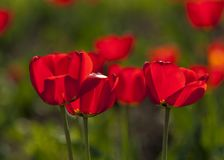 Tulips. a bulbous spring-flowering plant of the lily family,  with boldly colored cup-shaped flowers. Tulips. a bulbous spring-flowering plant of the lily Stock Photo
