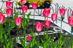 Tulips. a bulbous spring-flowering plant of the lily family, wit Stock Photography