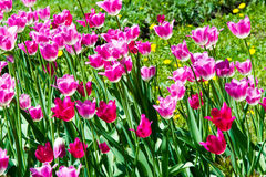 Tulips. a bulbous spring-flowering plant of the lily family, wit Stock Image