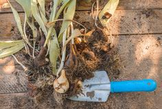 Desiccated tulips with bulbs after the end of vegetation on a wo Stock Photos