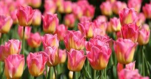 Tulips. Royalty Free Stock Photos