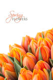 Tulips. Bunch of orange tulips on white background with sample text Stock Images
