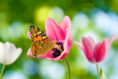 Tulips and butterflies in the garden royalty free stock images