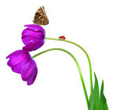 Tulips with butterfly. Fresh purple tulips with butterfly morpho isolated on white Royalty Free Stock Photo